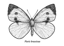Large White Butterfly Illustration, Drawing, Engraving, Ink, Line Art, Vector