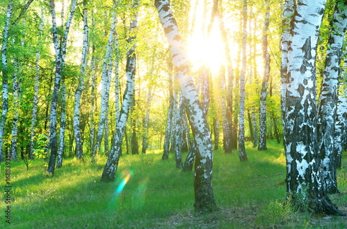 Stickers pour portes Bosquet de bouleaux Birch Grove. Dawn in the forest. Sun rays.