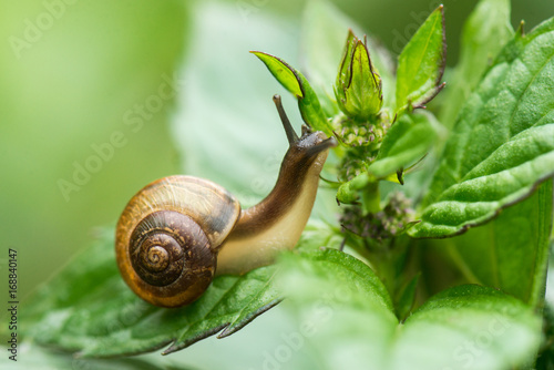 The snail crawls along the green leaves