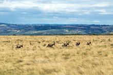 Herd Of Blesbok Wandering On Dry Winter Grassland Landscape