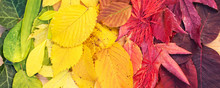 Rainbow Of Colorful Autumnal L...