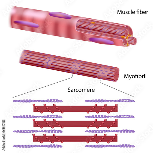Structure of a skeletal muscle fiber Wall mural
