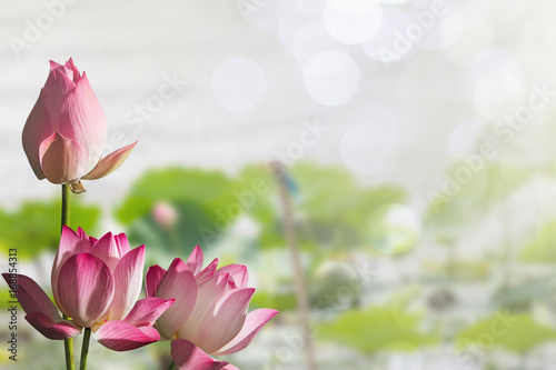 Garden Poster Lotus flower Pink lotus flowers on blurred lotus leaves in lake with soft bokeh background