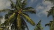 Coconut tree (close up). Sri Lanka