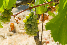 White Wine Grape Riping In The...