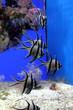 canvas print picture - Tropical fish in aquarium