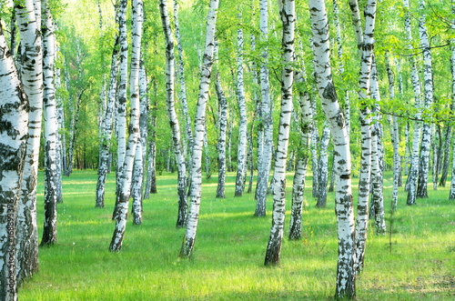 Cadres-photo bureau Bosquet de bouleaux birch grove in the summer. Landscape