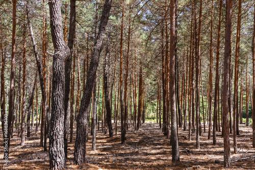 Bosque de Pino silvestre, albar. Pinus sylvestris. Sierra de la Culebra, Zamora, España. © LFRabanedo