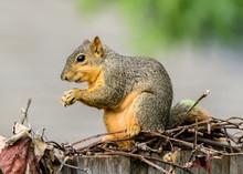 Fox Squirrel Having A Snack