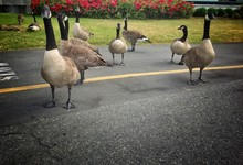 Canadian Geese On Bike Path