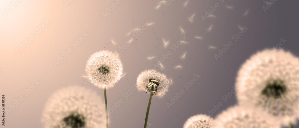 Fototapety, obrazy: Schöne Pusteblumen