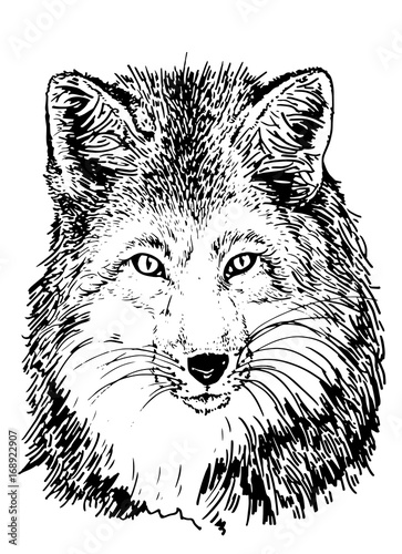 Poster Croquis dessinés à la main des animaux Graphical portrait of fox, hand-painted illustration for printing,tattoo and coloring