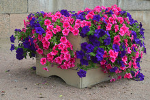 Pink And Blue Petunias In A Wo...