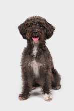 Black Schnoodle Schnauzer Poodle Mix Dog Sitting Isolated On White