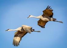 Sandhill Cranes Flying In Formation Pattern