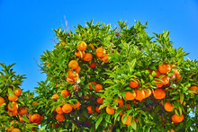Clementines Ripening On Tree A...