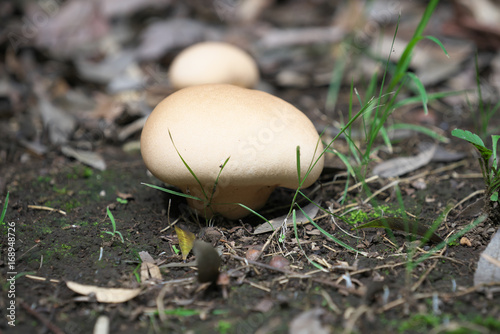 Fotografie, Obraz  brain puffball or skull-shaped puffball