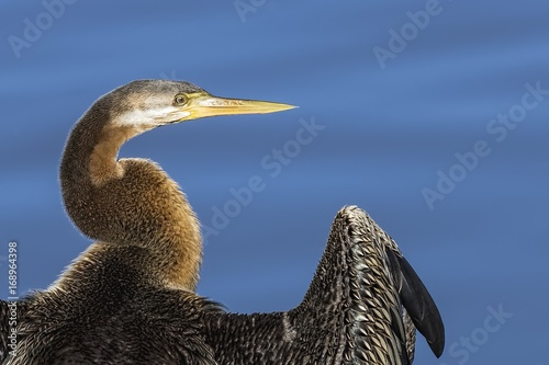 Fotografie, Obraz  Australasian Darter (Anhinga novaehollandiae) photographed at Highlands Lake Cra