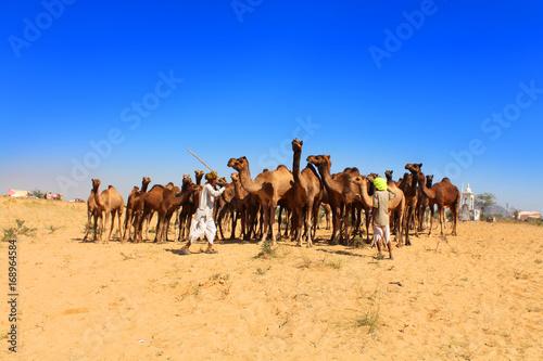 Poster de jardin Vache Inde / Pushkar Camel Fair (Foire aux chameaux)