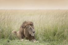 Male Lion (Panthera Leo) Lying...