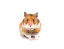 Cute Syrian Hamster Isolated O...