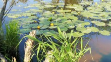 Pond In Nature With Water Lilies Summer