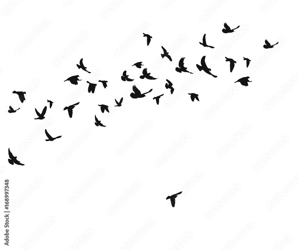 Fototapety, obrazy: silhouette of flying birds