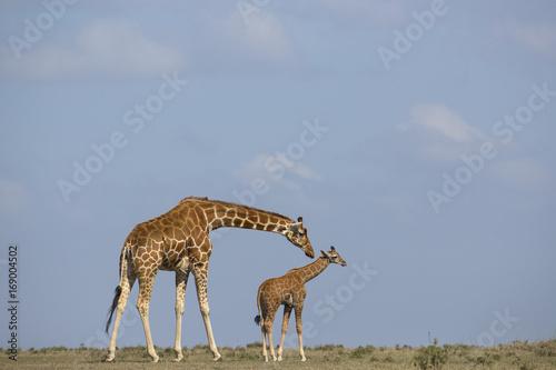 Photo  Giraffe mit ihrem Jungem