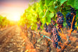 canvas print picture - Bunches of grapes in the rows of vineyard at sunset