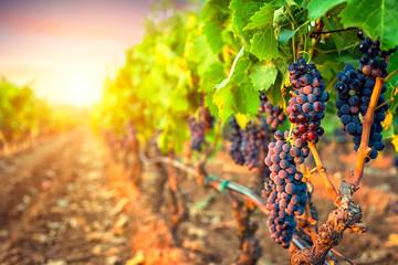 Grozdovi grožđa u redovima vinograda pri zalasku sunca