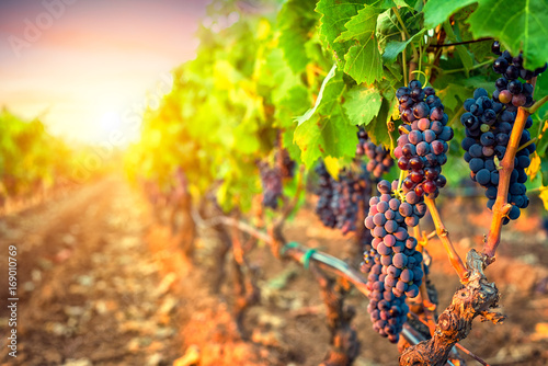 Foto auf Gartenposter Weinberg Bunches of grapes in the rows of vineyard at sunset