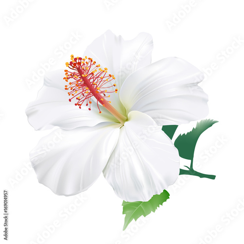 Hibiscus hand drawn vector illustration of a large white tropical hand drawn vector illustration of a large white tropical flower on transparent background mightylinksfo
