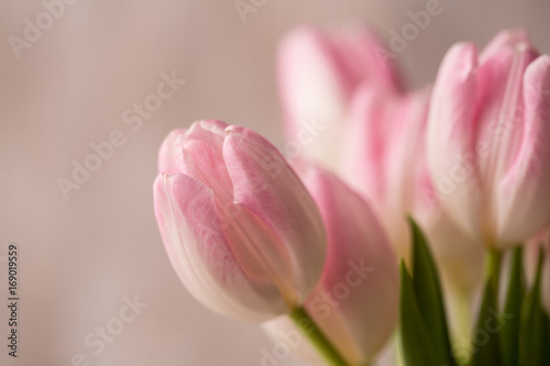 close-up-of-pink-and-white-tulips-bouquet