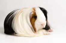 Guinea Pig Long Hair