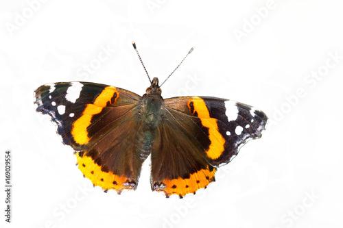 Plakat Bardzo ładny motyl Admirał (Vanessa atalanta) siedzi na pniu brzozy
