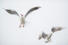 Flying Black-headed Gulls