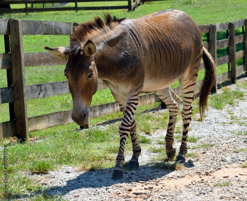 Zonkey half donkey and half zebra at animal reserve
