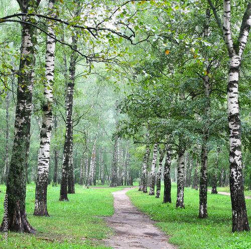 aleja-brzoz-w-letnim-lesie