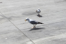 One Seagull Screaming With Ano...
