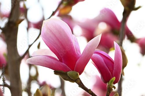Photo  Magnolia flower