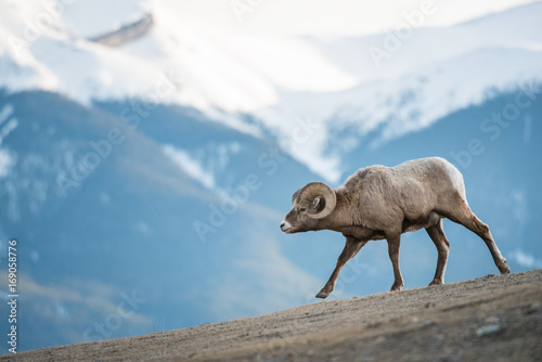 Cadres-photo bureau Sheep Bighorn