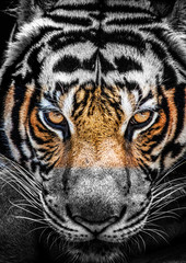 FototapetaEyes of tiger, color and black and white.