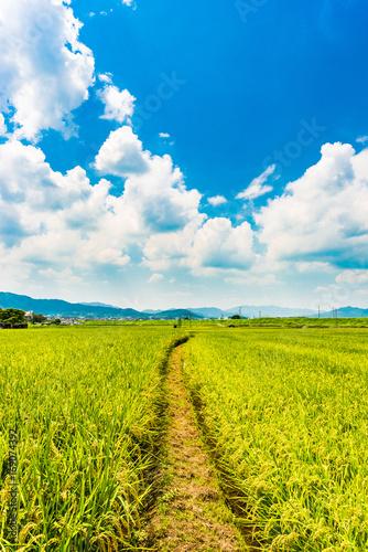 Obraz 稲作 日本の田園 - fototapety do salonu
