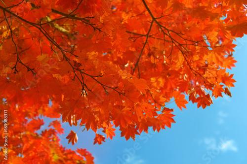 Keuken foto achterwand Rood traf. 真っ赤な紅葉と青空