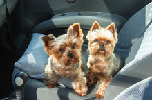 Puppy Yorkshire Terriers In T...