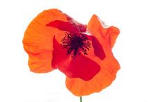 Wonderful Isolated Red Poppy Flower, White Background. Studio Shot, Closeup
