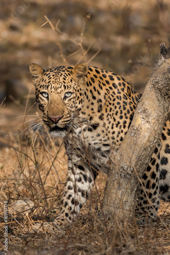 Poster Leopard dominant male leopard from jhalana forest area, Jaipur