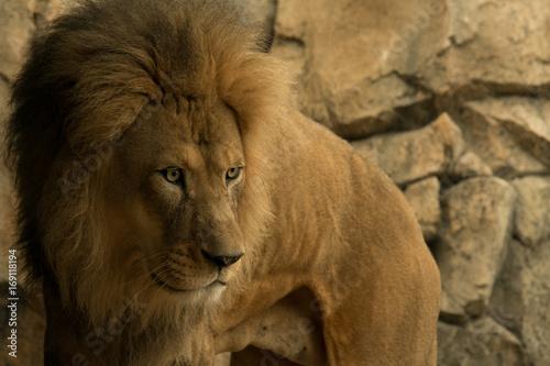 Zdjęcie XXL Młody męski lew