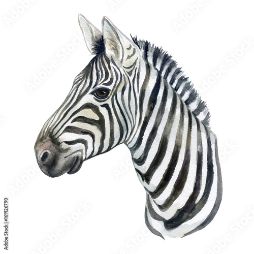 Portraitof a zebra horse isolated on white background. Watercolor ...