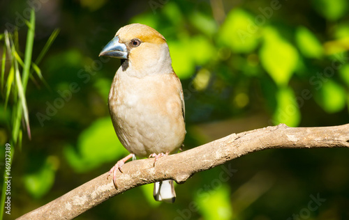Cuadros en Lienzo The hawfinch (Coccothraustes coccothraustes) adult male sitting on a branch